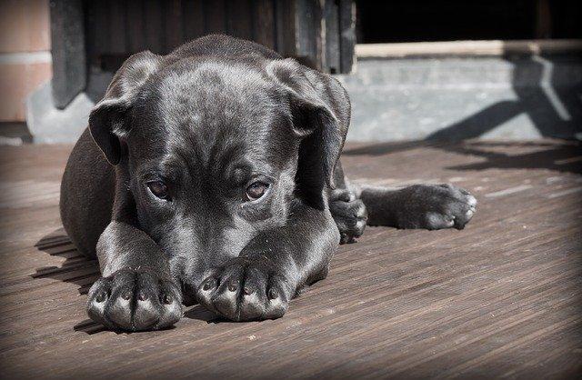 домашен любимец куче